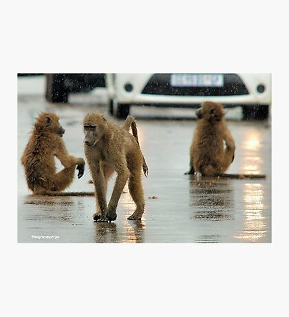COME RAIN, COME SNOW, BABOONS ARE ALWAYS ON A SHOW! Photographic Print
