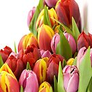 Beautiful Tulip Flowers by purplesensation