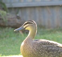 Duck closeup by JDPH0T0GRAPHY