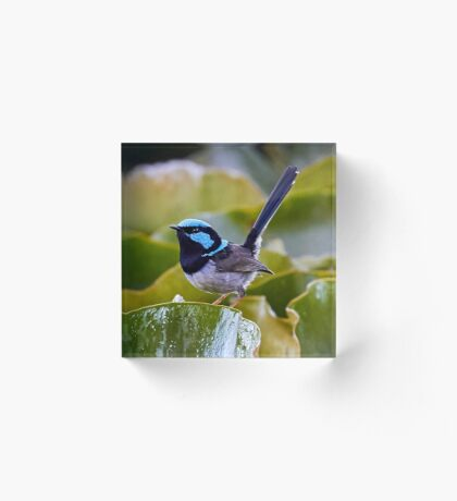 Superb Fairy-wren  Acrylic Block