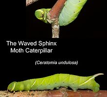 The Waved Sphinx Moth Caterpillar by DigitallyStill