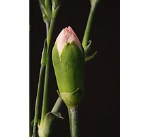 Pink Carnation Bud Closeup Photographic Print