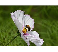 Bee on coloured flower  Photographic Print