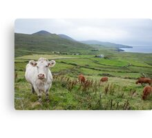 A cow in Kerry Canvas Print
