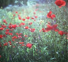 Red wild poppy flowers on green Hasselblad square medium format film analogue photograph by edwardolive