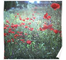 Red wild poppy flowers on green Hasselblad square medium format film analogue photograph Poster