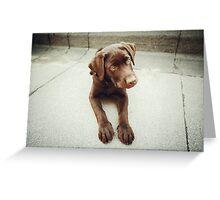 Chocolate young labrador dog Greeting Card