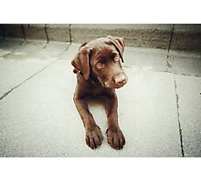 Chocolate young labrador dog Photographic Print