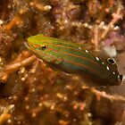 Rainford's Goby, Papua New Guinea by Erik Schlogl
