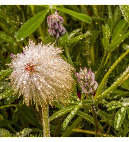 Pasqueflower with dew Sticker