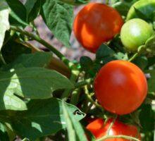 Tomatoes in the garden Sticker