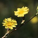 Lactuca serriola  ~ Prickly Lettuce Wildflower by Jan  Tribe