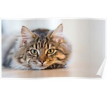 Cute Tom Cat Poster
