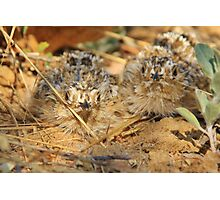 Sand Grouse Camouflage - Natural Beauty Photographic Print