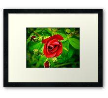 A Single Red Rose Framed Print