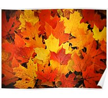 Pile of Colorful Maple Leaves Poster