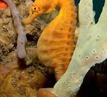 Pot-bellied Seahorse - Hippocampus abdominalis by Andrew Trevor-Jones
