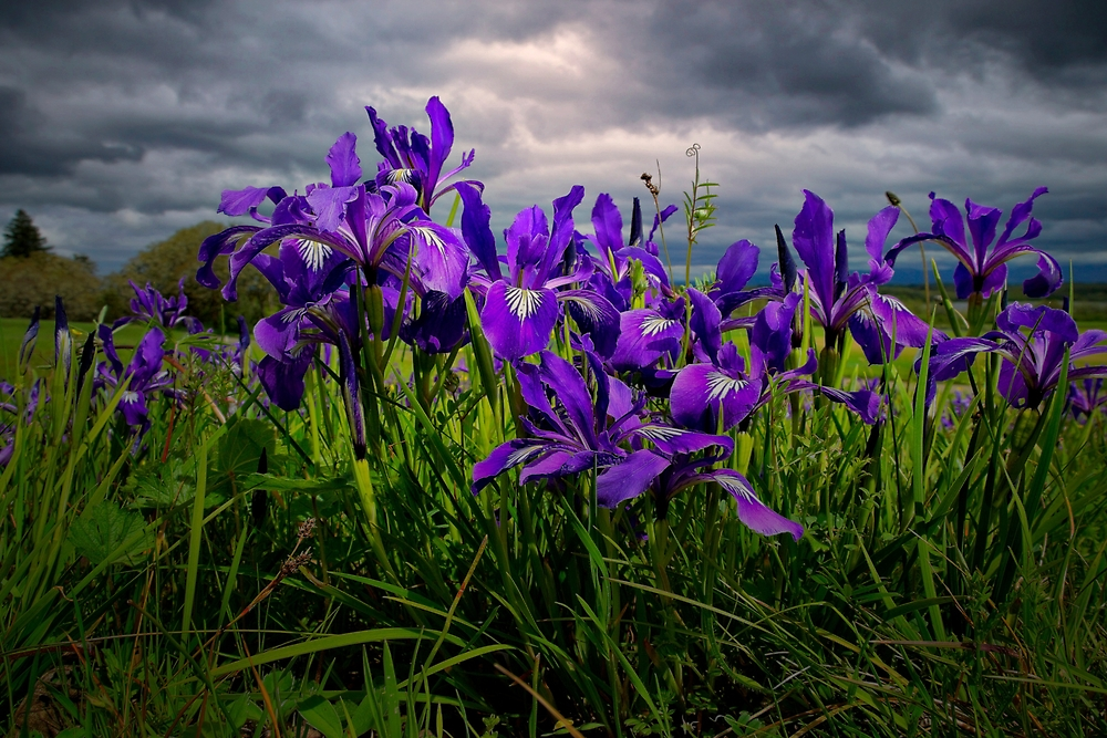 Wild Iris ~ Finley Refuge Wildflowers ~ by Charles & Patricia   Harkins ~ Picture Oregon