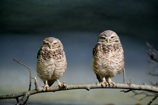 BURROWING OWLS by Larry Trupp
