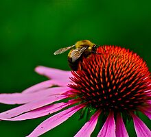 Busy Bumble Bee 2 by Carolyn Clark