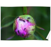Ants on the Peony Bud #2 Poster