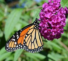 Monarch on Butterfly Bush by Kathleen Brant
