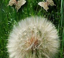 DANDILION PICTURE WITH DANDILION BUTTERFLIES MADE FROM THE DANDILION...PICTURES AND OR CARDS.. by ╰⊰✿ℒᵒᶹᵉ Bonita✿⊱╮ Lalonde✿⊱╮