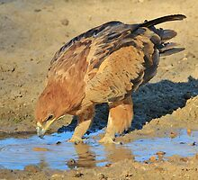 Tawny Eagle - Curious Life and Funny Nature by LivingWild