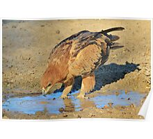 Tawny Eagle - Curious Life and Funny Nature Poster