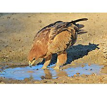Tawny Eagle - Curious Life and Funny Nature Photographic Print