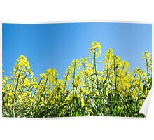 "Very Vibrant....Flowering Canola"""""""" Poster"