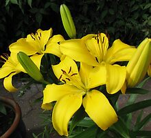 Lemon Lilies in the Lamplight by SunriseRose