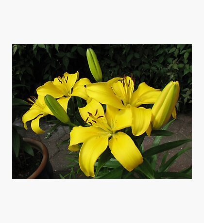 Lemon Lilies in the Lamplight Photographic Print