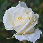 Rose White by Penny Smith