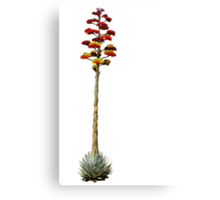 Agave in Bloom Canvas Print