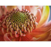 Pink Waratah Photographic Print