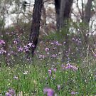 Forest of Chocolate Lillies (Arthropodium strictum) by Hannah Nicholas