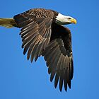 Bald Eagle in Flight ! by jozi1