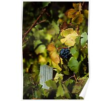 Wine grapes just before harvest Poster