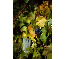 Wine grapes just before harvest Photographic Print