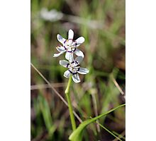Early Nancy (Wurmbea dioica)  Photographic Print