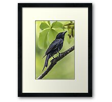 FORK-TAILED DRONGO  Framed Print
