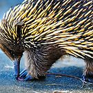 Echidna..... by Tracie Louise
