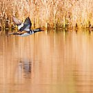 Hooded Merganser Take Off 2 - Harle couronné - Parc National Mont Tremblant  by Yannik Hay