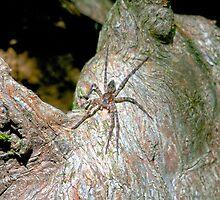 Big Spider on a Cyprus Knee by TJ Baccari Photography