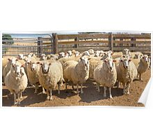 Yarded......off to the shearing shed..... Poster
