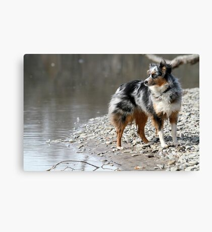 AS blue merle full Canvas Print