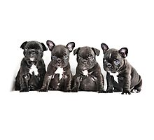 Four Frenchies Photographic Print