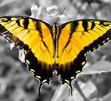 Tiger Swallowtail Butterfly  by Stacie Forest