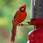 Cardinal curiosity by Stacie Forest
